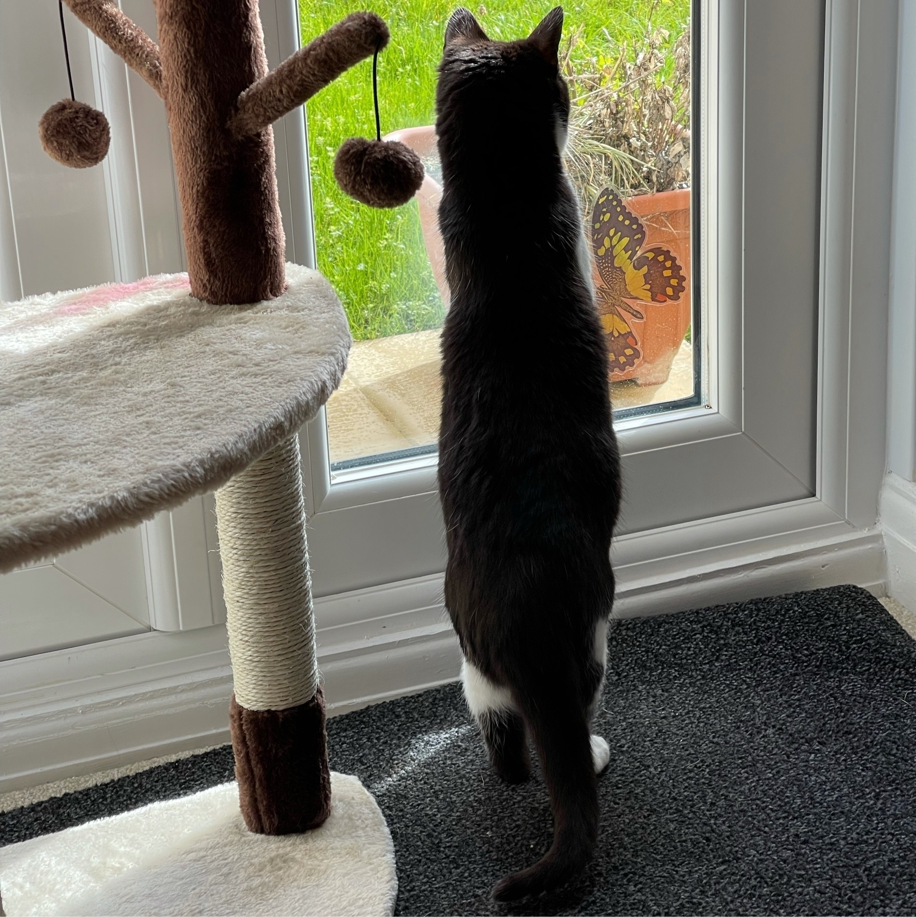 black and white cat standing on her back legs looking out of a glass door