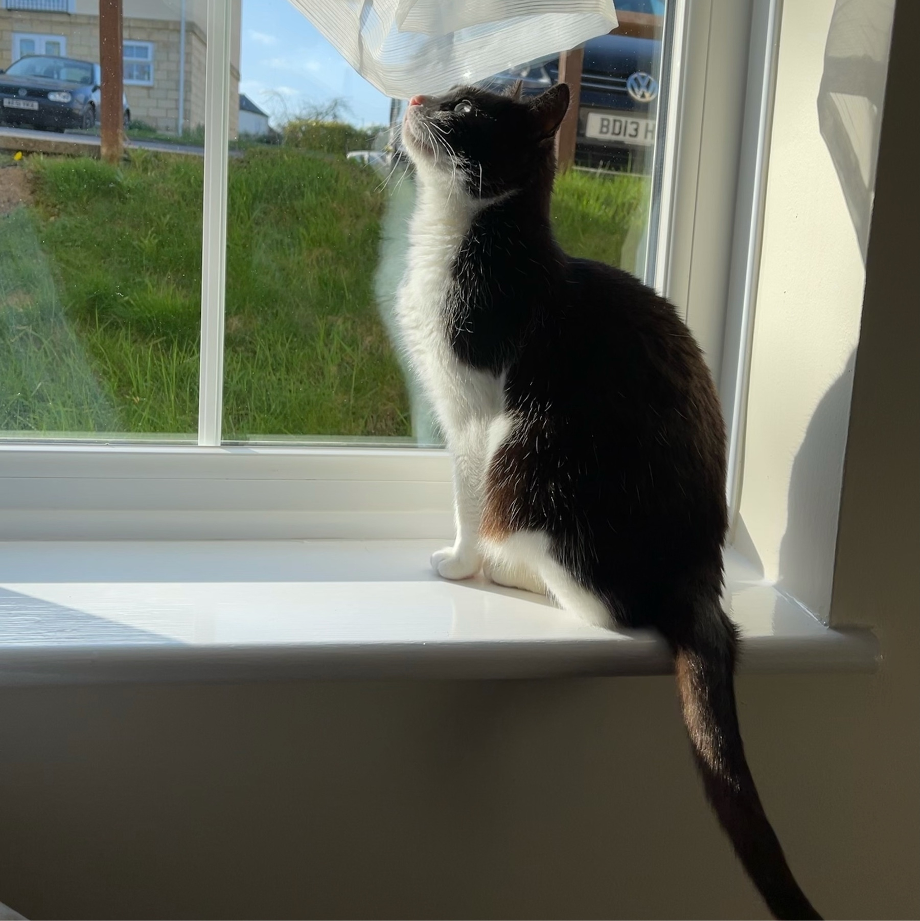 black and white cat with a pink nose posing on a windowsill in evening sunlight
